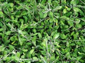 Corokia virgata 'Pipsqueak' http://mooresvalleynurseries.co.nz/page/catalogue.aspx?prodid=C2C4FC2F-E1A6-41A4-84F9-21DDAFC08290