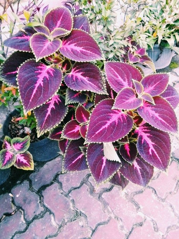 Pretty magenta leaves.