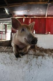 Meet Gertrude the pig at Tullyboy Farm! OINK OINK!  www.tullyboyfarm.com