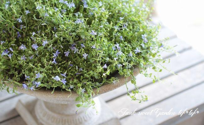 ロベリア・ブルーニンフ 宿根ロベリア 超小花 耐寒性有 地植えにも。