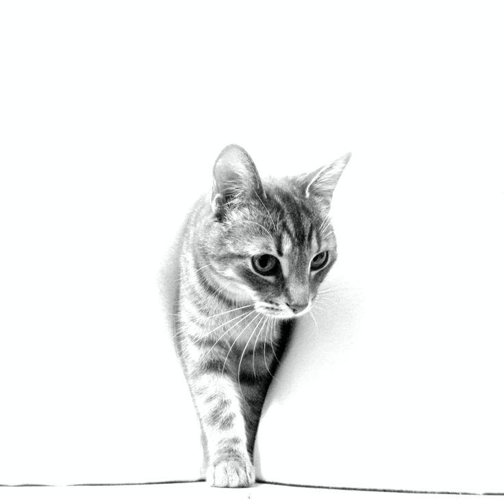 #portrait #cat #chat #lighkey #high #key #bw #black #and #white # photographie #canon #Sara-Claude L. St-Louis