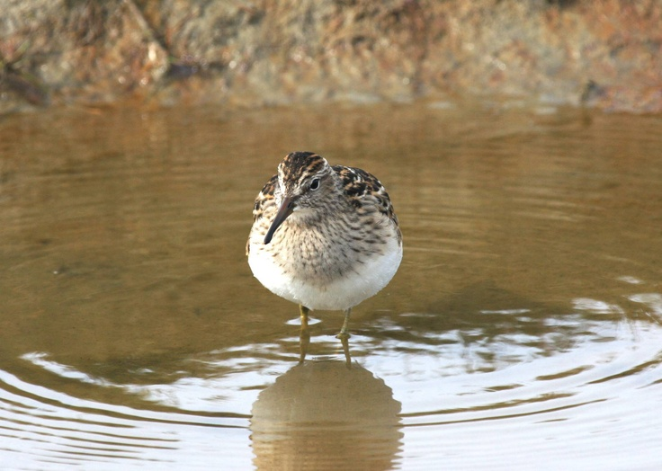 An extremely well-fed Pectoral Sandpiper, ready for his migration from the north slope of Alaska to South America.