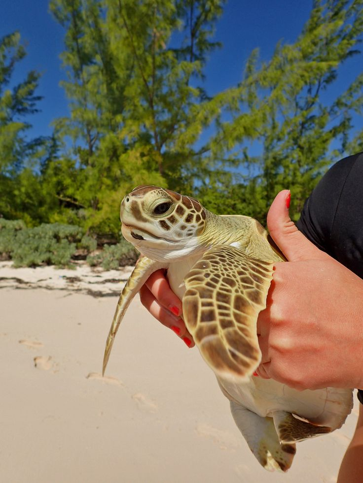 Green sea turtle juvenile (1 of 3) | Cape Eleuthera, the Bah… | Flickr