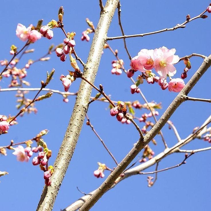 Körsbärsblom och blå himmel. Gårdagen bjöd på linneväder när jag tog en fototur i trädgården med en avkopplande paus i solen.