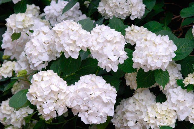 Hydrangea Macrophylla 'Madame Emile Mouillere', Hydrangea Madame Emile…