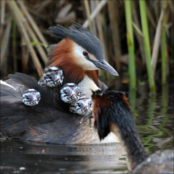 Podiceps cristatus / Fuut / Great Crested Grebe by Mirjam Pouw