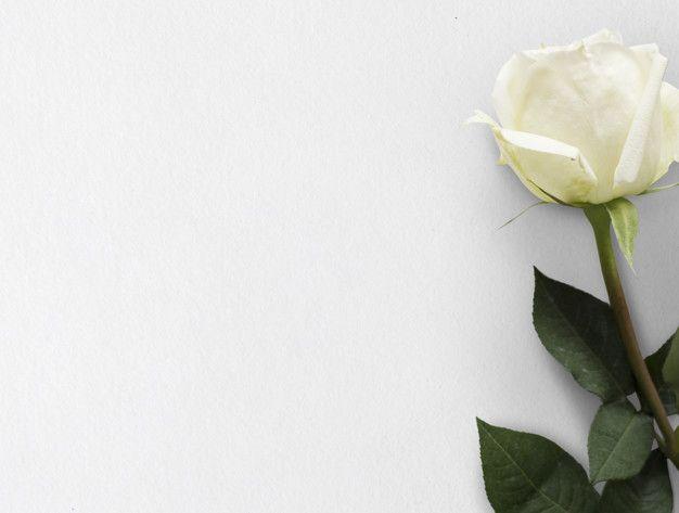 Flor Rosa Blanca Fondo Naturaleza Foto Premium Free Photo Freepik Photo Freefondo Freeflor Freeamor Fr White Rose Flower Flower Backgrounds White Roses