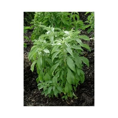 Stevia of honingdauw (Stevia rebaudiana)                                         Deze plant is afkomstig uit Zuid-Amerika en wordt door de oorspronkelijke bewoners daar al eeuwenlang gebruikt als zoetstof.   Het blad kan zowel vers als gedroogd worden gebruikt voor het zoeten van thee, koffie etc. Ook wordt er van het verse blad wel een zeer zoete, kruidenthee getrokken. Stevia zou tot 30 keer zoeter zijn dan suiker.