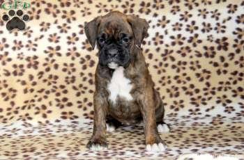 brindle boxer 10 weeks boxers pinterest p ch s mignons p ch et mignon. Black Bedroom Furniture Sets. Home Design Ideas