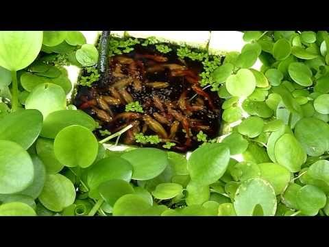 Guppies In Outdoor 20 Gallon Long Aquarium - YouTube