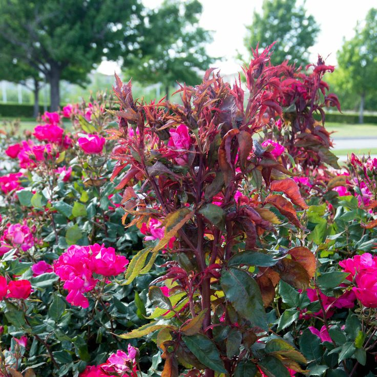 This virus has ravaged thousands of rose plantings in North Texas in recent years. Are your roses affected? How can you tell? What can you do? We have the details.