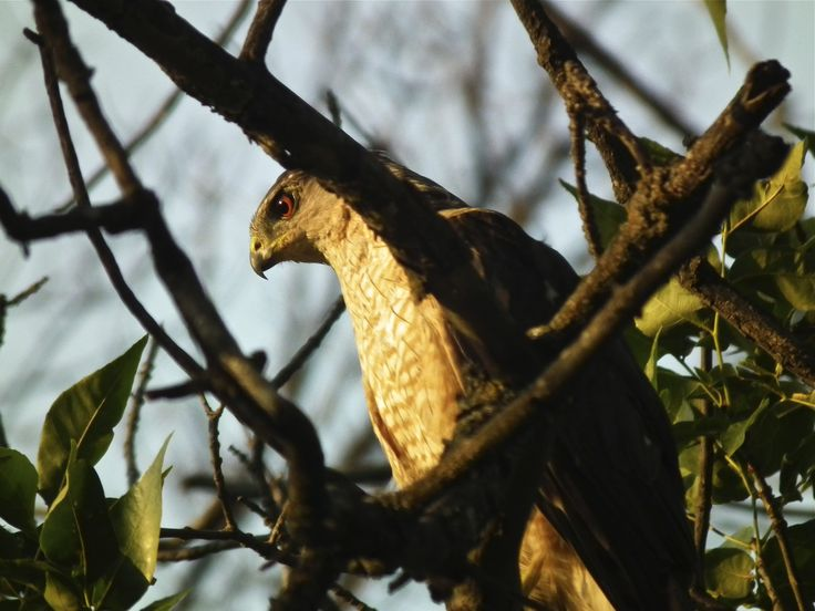 Coopers Hawk in the setting sun, Moose Jaw, Saskatchewan