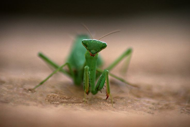 Praying Mantis... Highly Commended at Camera Club