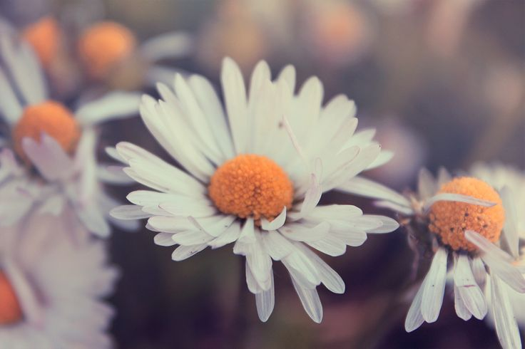 Simple beauty #camomile #pure #white #flower