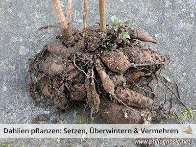 Dahlien pflanzen: Tipps zum Setzen, Überwintern & Vermehren