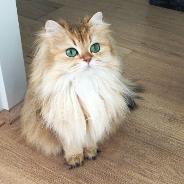 Thís is what I came for? Disappointing. #smoothiethecat#cat#catsofinstagram#we_love_cats#smoothie#cute#kitten#Кот#topcatphoto#قط#catlover#bestmeow#catsygram#kedi#gato#meow#fluffy#weeklyfluff#instacat#Katzen#petsagram#kawaii#catoftheday#animalphotography#bestcats_oftheworld#ilovemycat#catlovers#instacat#igcutest_animals#猫