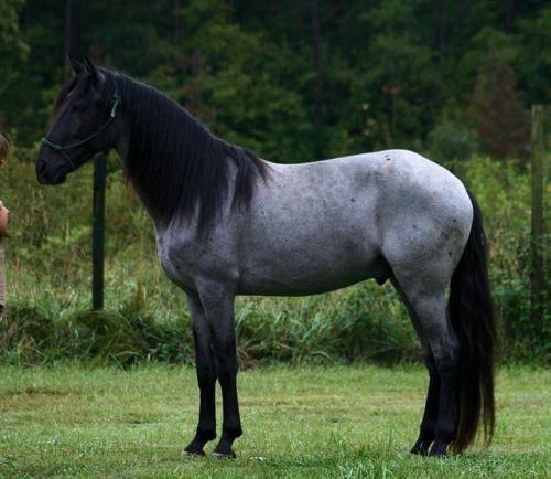 saddles and horse blankets blue roan horse pinterest horses