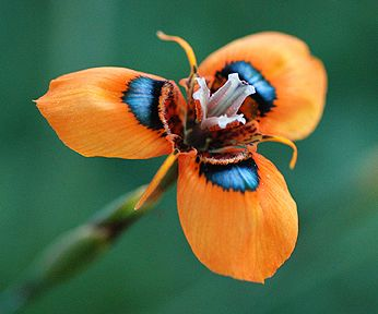 Moraea tulbaghensis, SOUTH AFRICA. This fantastic South African bulb has orange petals with iridescent blue/green spots at the petal bases. The spots resemble iridescent South African beetles. They then act as lures to beetles who are looking for some romance and then in turn pollinate the flower.