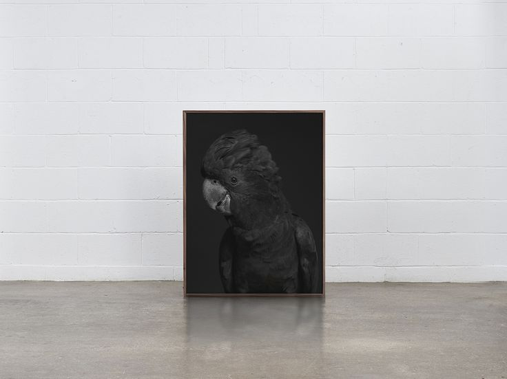 Our American Walnut light box featuring 'Black Cockatoo'  1000 x 750 -  Volumes Gallery