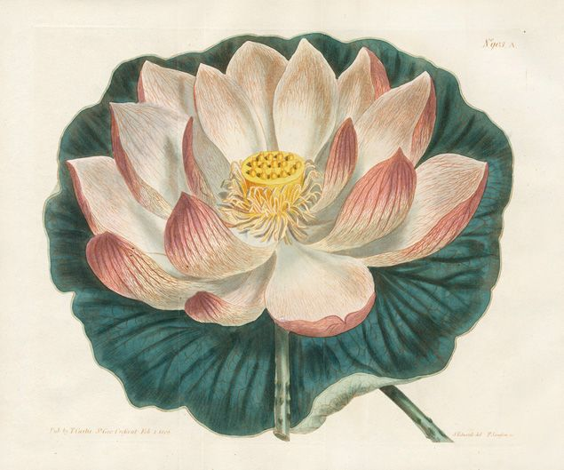 Curtis Botanical Magazine Antique Double Prints 1787