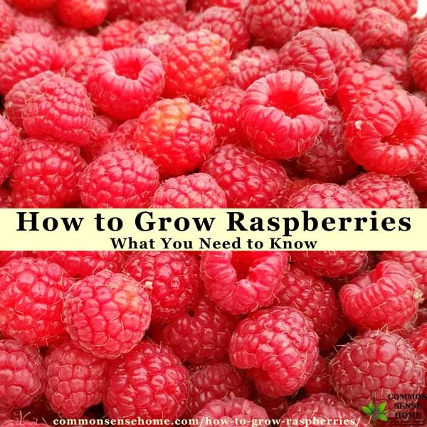 How to Grow Raspberries - Info on Soil, Location, Water, Mulch. Difference between Summer Bearing and Fall Bearing Raspberries. #raspberries #gardeningtips