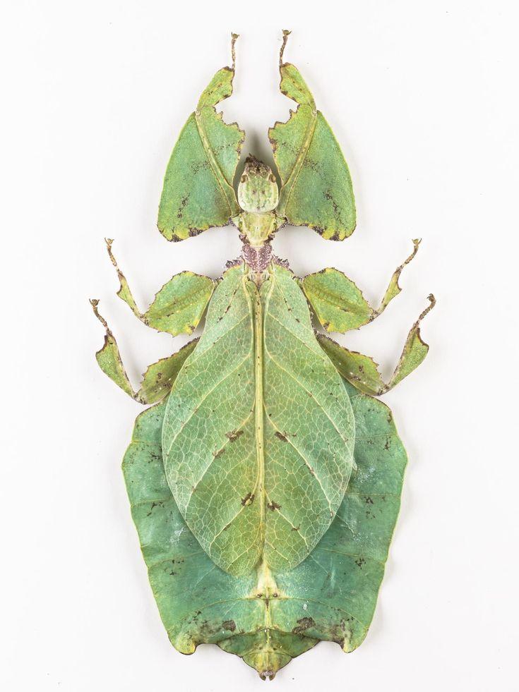 Phyllium giganteum, leaf insect, dried specimen