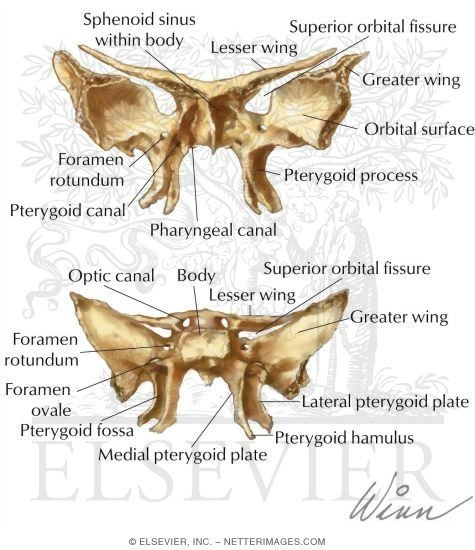 Bat shaped bone!!!!!!sphenoid bone | Bones of the Skull: Sphenoid Bone - Netter Medical Artwork