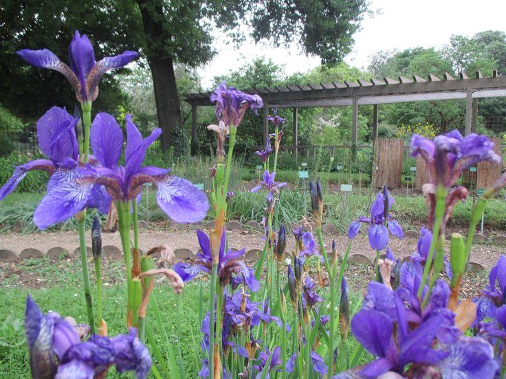 Botanic Garden - Iris