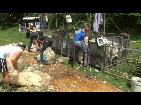 ▶ Sheep shearing: Children's DVD: Bee bright On the Farm: Amazing Animals (Justin Fletcher) - YouTube