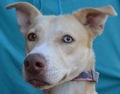 Petango.com – Meet Gingy, a 4 years 4 months Retriever, Labrador / Siberian Husky available for adoption in VISALIA, CA