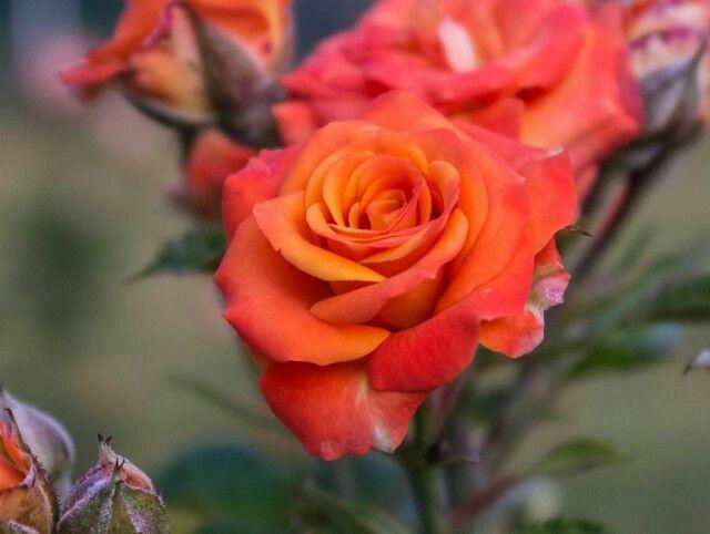 Rose arancioni le mie preferite