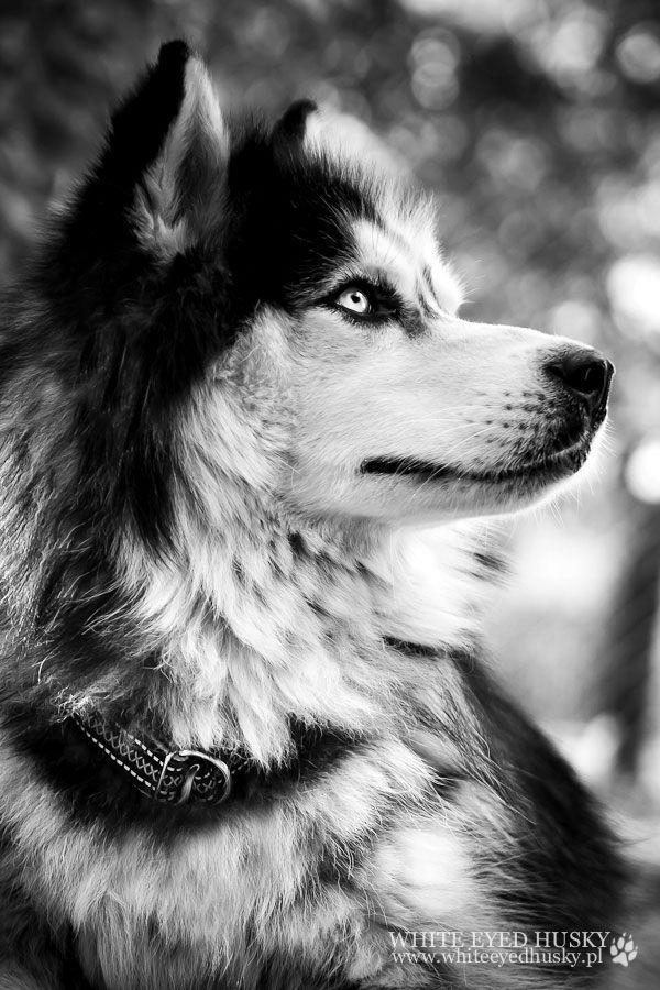 Precioso Husky en blanco y negro