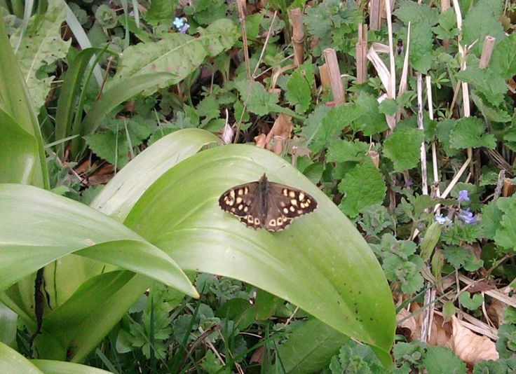 Speckled Wood Butterfly have been seen fluttering around Gunby Hall and Gardens in Lincolnshire today, 10 April 2014.