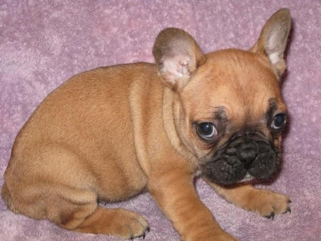 we would also like a french bulldog.