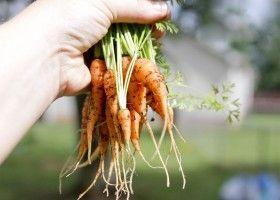 Выращивание моркови и уход