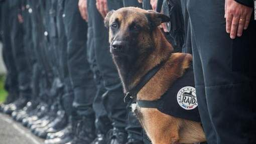 #JeSuisChien Policedog Diesel died while searching a terrorist appartment in Saint-Denis (France) after november 2015 terrorist attack