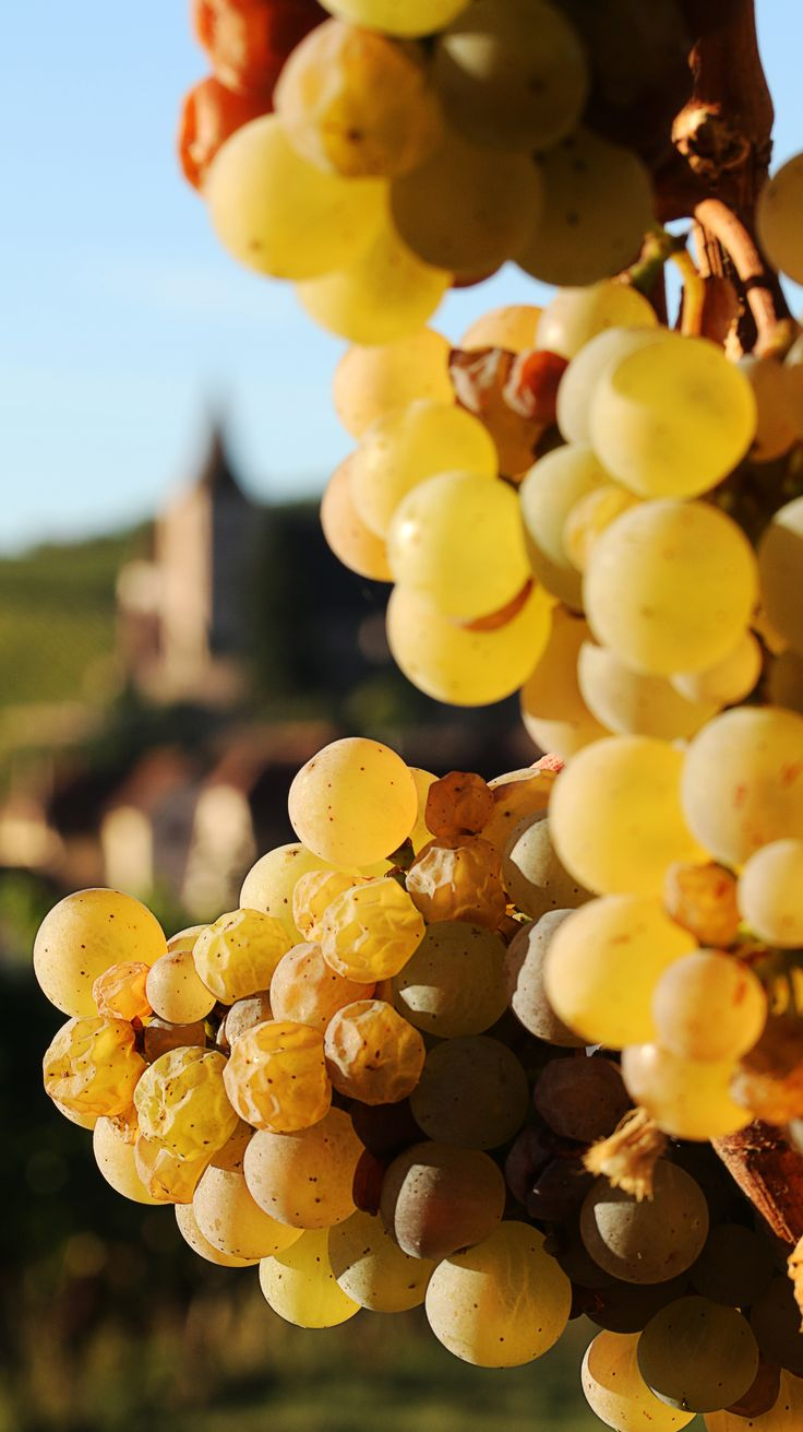 2015 was a good vintage year in Alsace. High daytime temperatures in July led to an early harvest with naturally very sweet, healthy grapes.
