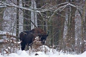 Der heimliche König Polens Urwälder - auf Exkursion mit polnischen Biologe n