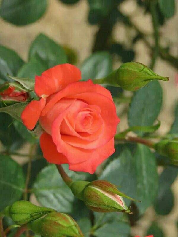 ป กพ นโดย Kasima Adam ใน 111 Roses