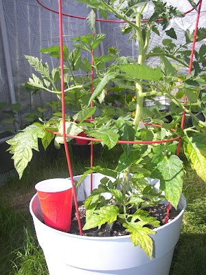 The Architect and The Artist: Watering Tomato Plants in Pots. More info about watering tomatoes at http://www.tomatodirt.com/watering-tomato-plants.html.