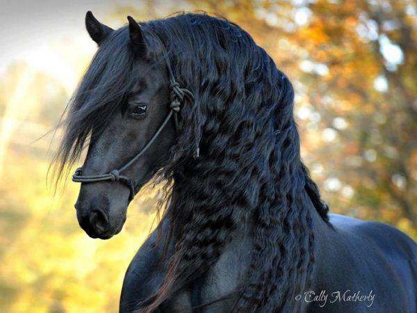 Самая красивая лошадь в мире - черный жеребец Фридрих Великий