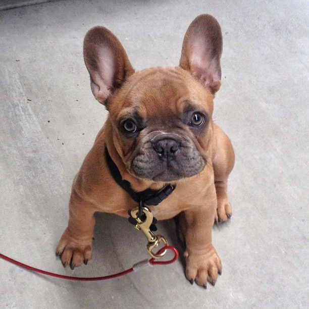I need this little french bull dog! Check more at http://hrenoten.com