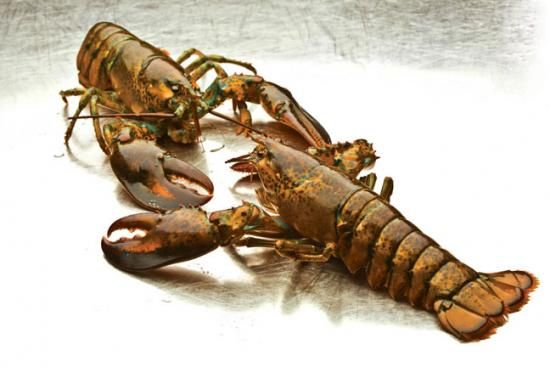 How to Breed Freshwater Lobsters