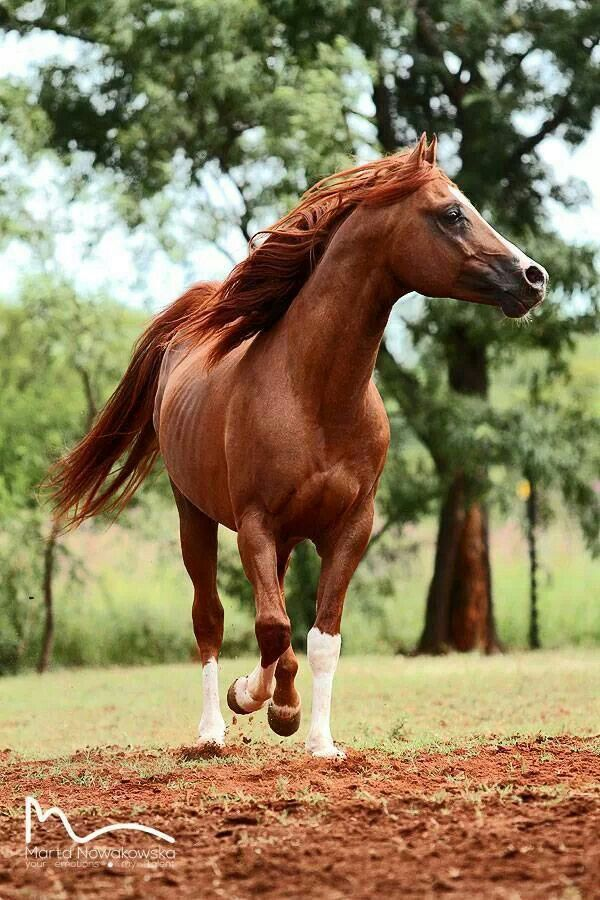17 Best images about Reds on Pinterest | Horses for sale ... - photo#25