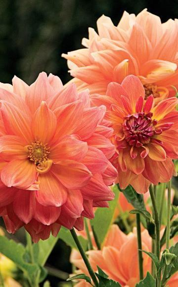 Beliebt ist auch die Kombination aus purpurlaubiger Hoher Fetthenne (Sedum-Hybride) mit Dahlien. Dieses Duo lebt besonders von den unterschiedlichen Blütenformen. Auch Edith J. hat diese Kombination in ihrem Garten gepflanzt