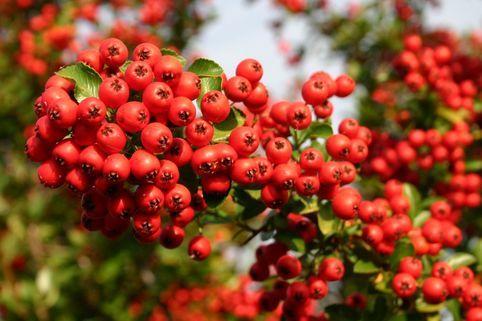 Feuerdorn 'Red Column' - Pyracantha coccinea 'Red Column'
