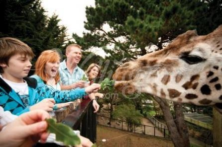 Feeding the giraffes at Wellington Zoo, New Zealand.