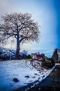 The beautiful tree on Slettebakken is still freezing in the harsh Bergen winter, but is majestic as always.