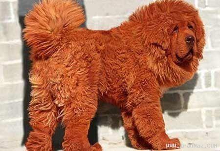 رکورد گران ترین سگ دنیا با  میلیارد قیمت عکس  فوج نیوز  به گزارش فوج یک میلیونر از شمال چین با پرداخت  میلیون دلار برای خرید یک سگ قرمز تبتی از نژاد ماستیف ( Mastiff ) رکورد گرانترین سگ جهان را شکست.  گرانقیمت ترین سگ جهان که به رنگ قرمز می باشد هانگ دانگ ( Hong Dong ) نام دارد.این سگ  ماهه از نژاد  فوج  https://fovj.ir