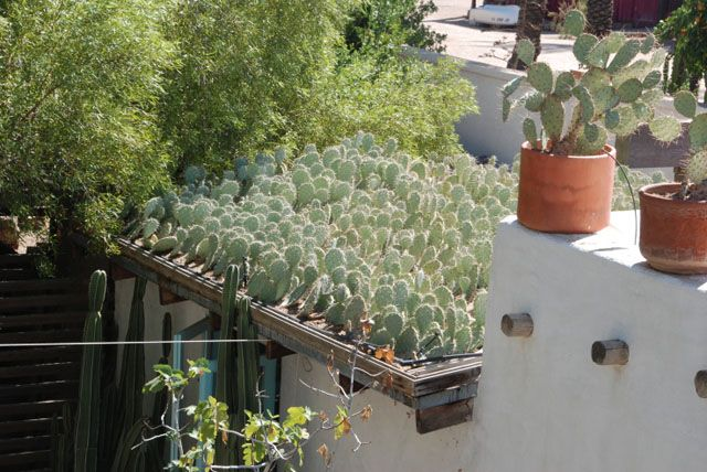 Cactus grown on roof: Landscape Architects, Cactus Growing, Cactus Roof, Green Roof, Cool Ideas, Steve Martino, Arizona Green, Cactus Gardens Roof, Cactus Green